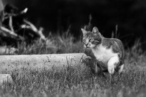 Photo en noir et blanc d'un chat prêt à bondir