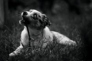 Photo en noir et blanc d'un chiot border collie qui fait ses dents sur un bâton