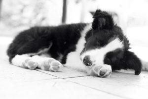 Photo en noir et blanc d'en border collie chiot en train de dormir en boule