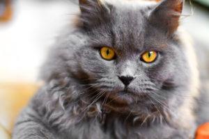 Portrait serré en couleur d'un british longhair bleu aux yeux dorés